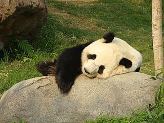 086 Reuze panda