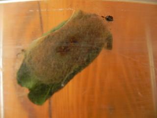 Lasiocampa quercus=Le Minime à bandes jaunes (cocon) (1)