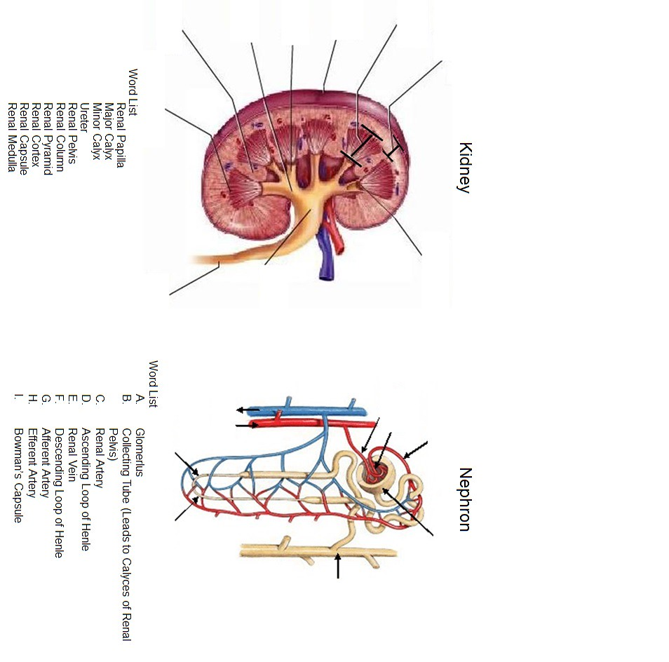 Unit 10 -- Kidney and Nephron Diagram