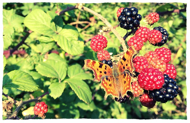 Comma on blackberries