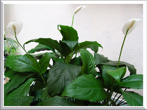 Spathiphyllum spp. 'Mauna Loa Supreme' (Peace Lily) at our courtyard - Oct 22 2013