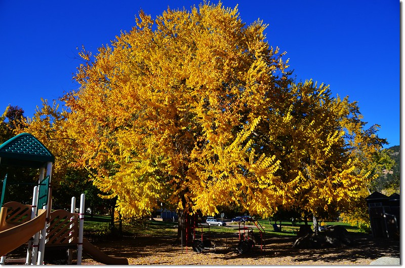 Elm(榆樹) in Fall, Chautauqua, Boulder 4