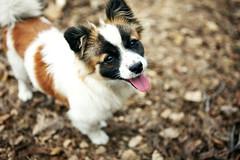 miniature australian shepherd(0.0), papillon(0.0), dog breed(1.0), animal(1.0), puppy(1.0), dog(1.0), mammal(1.0), phalã¨ne(1.0),