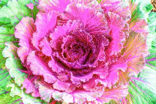 Common Cabbage! Explored!