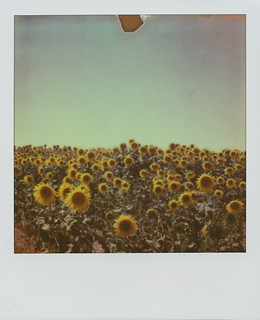 (im)possible sunflowers (1)