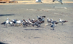 mixed flock of gulls AB 7-13