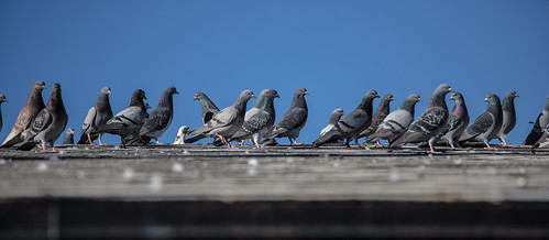 Day 211 - Plenty of Pigeons