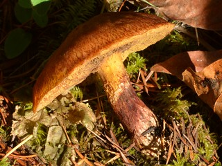 Western Painted Suillus (Suillus lakei) or kin mushroom in the Oregon woods