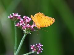 Phalanta sp.