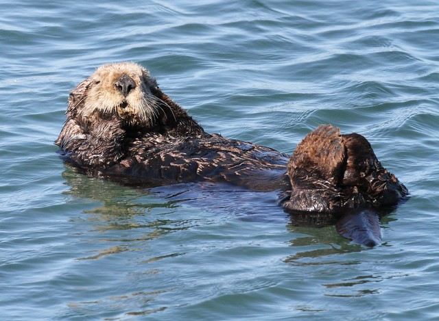 Sea otter, credit Norman S. Smith copy
