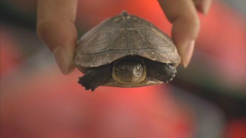 龜類最大的威脅,就是人類。