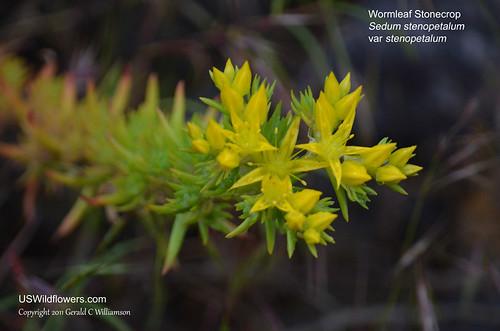 Wormleaf Stonecrop - Sedum stenopetalum