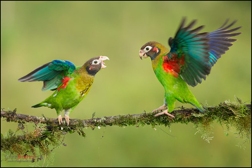 blue red bird colors fly wings costarica colorfull wildlife ngc birding vegetation perched sideview parrots loras centralamerica displaying twoanimals brownhoodedparrot avianexcellence leastconcern chrisjimenez pyriliahaematotis