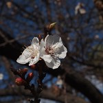 In the neighborhood: Apricot Blossoms - 2