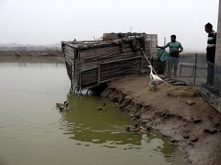 Ducks being fed on Radhekishan's fish farm
