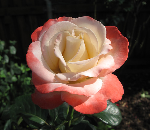 Sheer Magic- Hybrid Tea