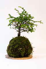 branch, soil, tree, plant, sageretia theezans, houseplant, bonsai,