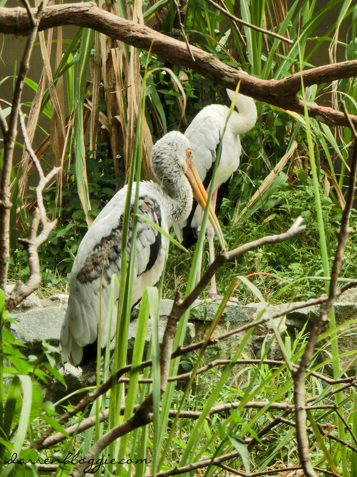 Meet Jia Jia and Kai Kai at the River Safari
