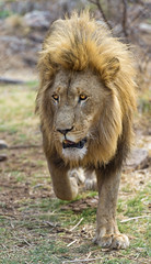 Nice lion walking