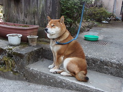 puppy(0.0), street dog(0.0), dog breed(1.0), animal(1.0), akita inu(1.0), akita(1.0), dog(1.0), shiba inu(1.0), pet(1.0), shikoku(1.0), mammal(1.0), finnish spitz(1.0), korean jindo dog(1.0), norwegian lundehund(1.0),