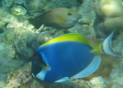 Powder Blue Surgeon fish taken on the house reef at Kunfunadhoo island (Soneva Fushi)