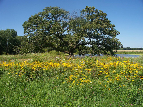 The wetland in bloom with a more than 100-year-old oak tree standing prominently in the prairie. Natural Land Institute photo.