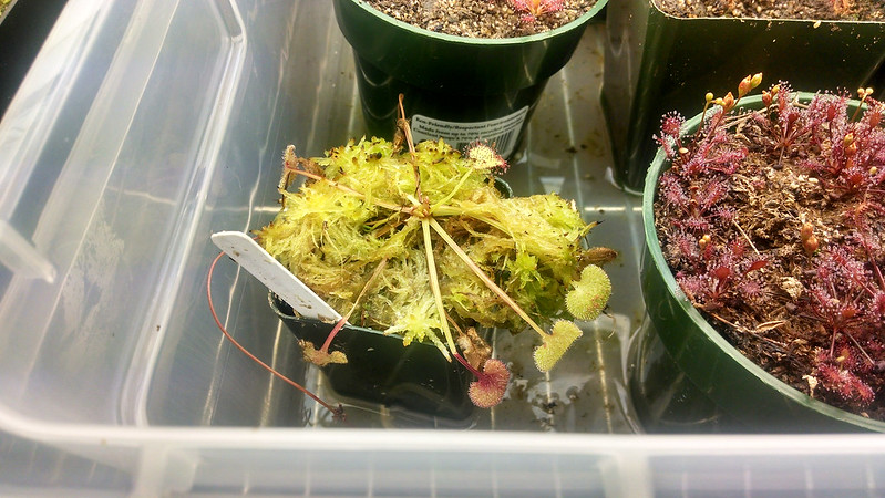 Drosera prolifera in living Sphagnum.