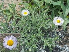 dandelion(0.0), thistle(0.0), marguerite daisy(0.0), sow thistles(0.0), chamaemelum nobile(0.0), flatweed(0.0), silybum(0.0), oxeye daisy(0.0), annual plant(1.0), flower(1.0), plant(1.0), daisy(1.0), herb(1.0), wildflower(1.0), flora(1.0), daisy(1.0),
