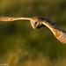 Hunting Barn Owl by Alan Wennington