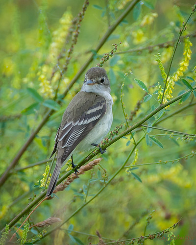 georgia flycatcher blairsville empidonax tyrannidae willowflycatcher tyrantflycatcher traillsflycatcher traillii alnorum