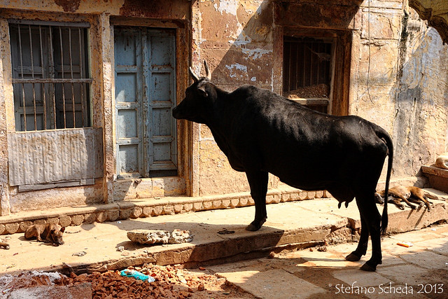 This is India, so who's extra, the cow or the dogs? - Benares, India