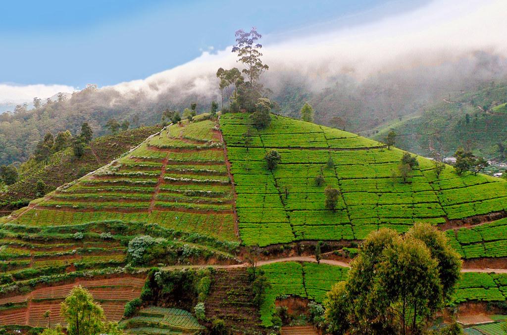 Sri Lanka - Tea plantations in highlands