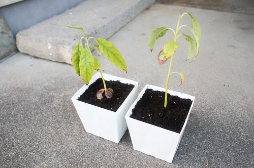 plant - アボカド