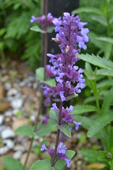 NEPETA 'Chettle Blue'