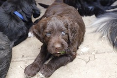 puppy(0.0), schnoodle(0.0), tibetan terrier(0.0), havanese(0.0), field spaniel(0.0), cockapoo(0.0), goldendoodle(0.0), portuguese water dog(0.0), dog breed(1.0), animal(1.0), dog(1.0), boykin spaniel(1.0), pet(1.0), poodle crossbreed(1.0), newfoundland(1.0), carnivoran(1.0),