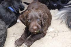 dog breed, animal, dog, boykin spaniel, pet, poodle crossbreed, newfoundland, carnivoran,