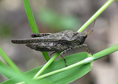 Slender Groundhopper - Tetrix subulata