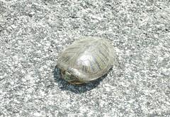 painted turtle Deer Hill Rd. 120