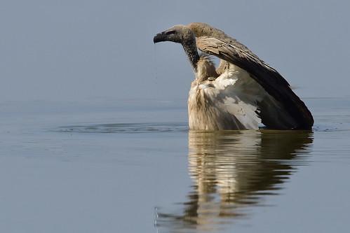 Wading......