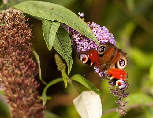 garden butterfly's