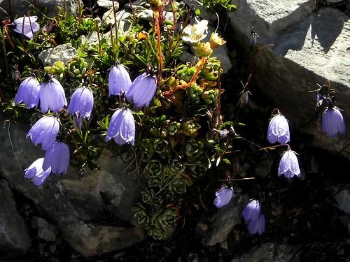 Campanula cochleariifolia=Campanule naine