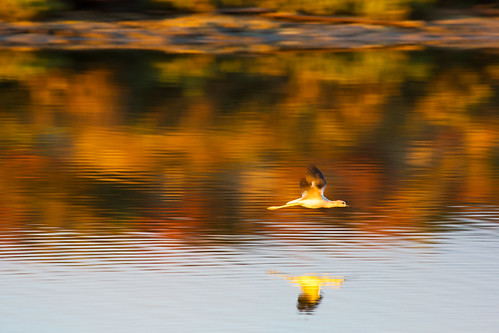 california autumn motion reflection canon wings flight pan americanavocet donedwardsnationalwildliferefuge 5dmarkiii