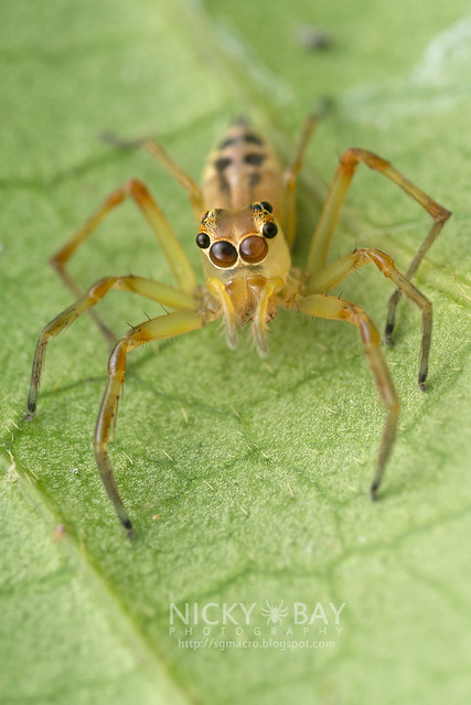 Jumping Spider (Salticidae) - DSC_3247