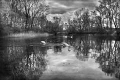 France, Cygnes au Parc de Miribel Jonage