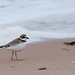 Semi-palmated plover by Outsider Diaries