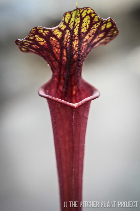 Sarracenia 'Black Widow' x flava var. rubricorpora