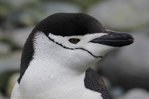 Chinstrap  penguin - Cape Lookout Elephant Is (28) by ailognom2005