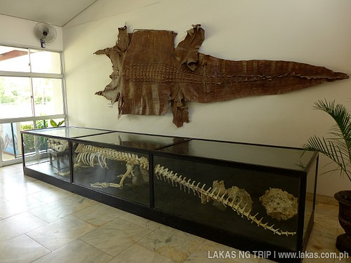 Large crocodile skin and skeleton