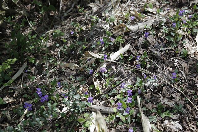 ニオイタチツボスミレもよく咲いていた.