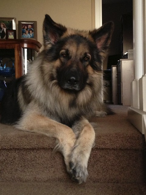 Shiloh Shepherd Pictures And Informations Dog Breeds Com